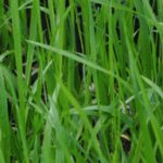 Profile picture of sweetgrass